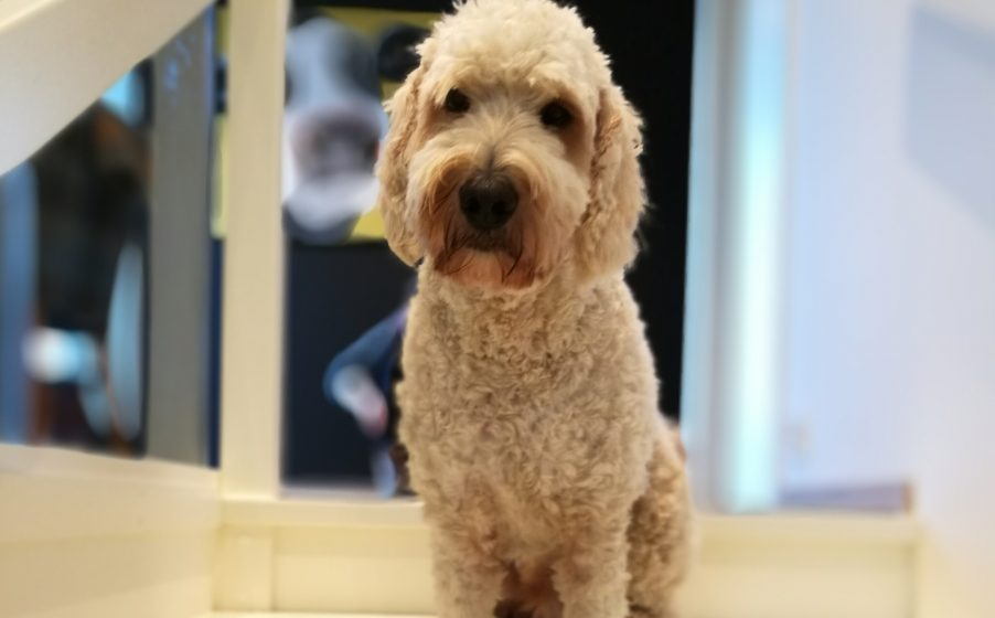Gorgeous Golden doodle dog with a 'who me?' look in his eyes