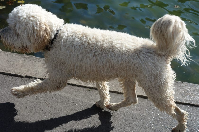 give a dog a bad name.. golden doodle walking taken from side