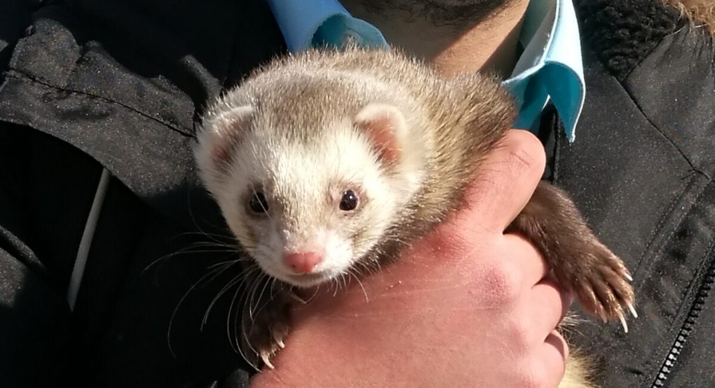 face of ferret cropped from other shot with owner