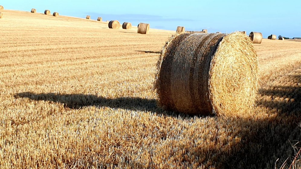Golden hay stubble and rolls of hay