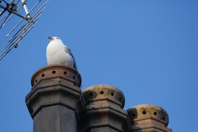 Gull on chimney pot