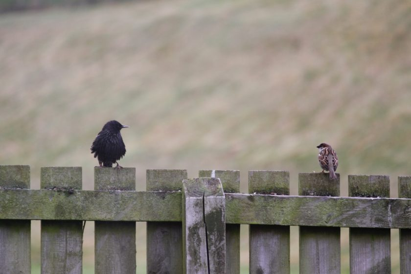 Starling on fence talking to a sparrow