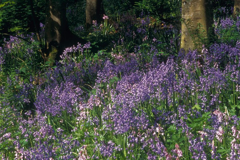 A carpet of bluebells catch the woodland light