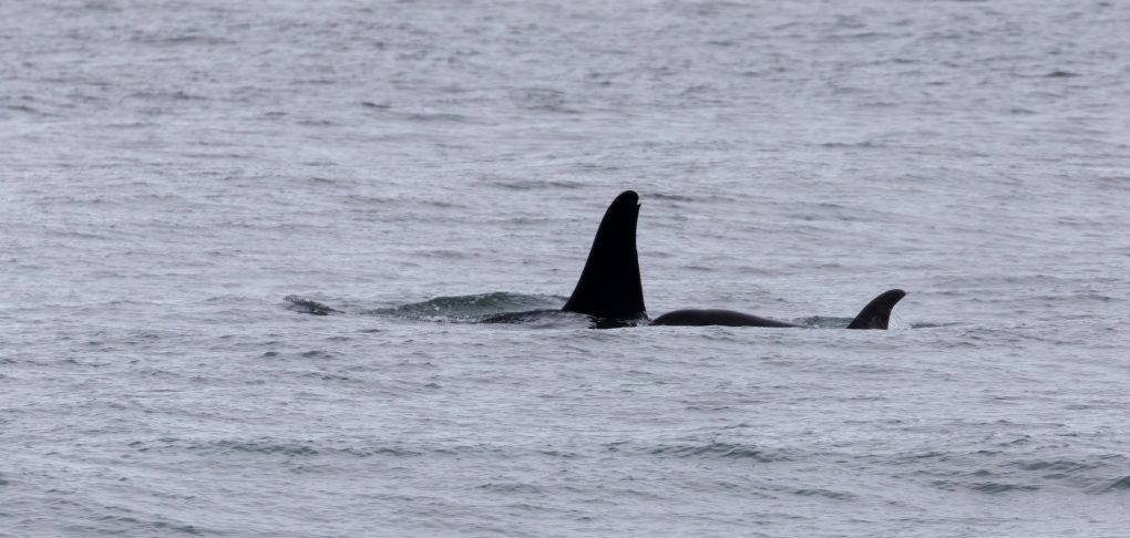 the distinctive long fin of an orca
